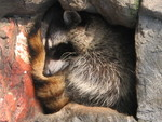 Sleepy raccoon