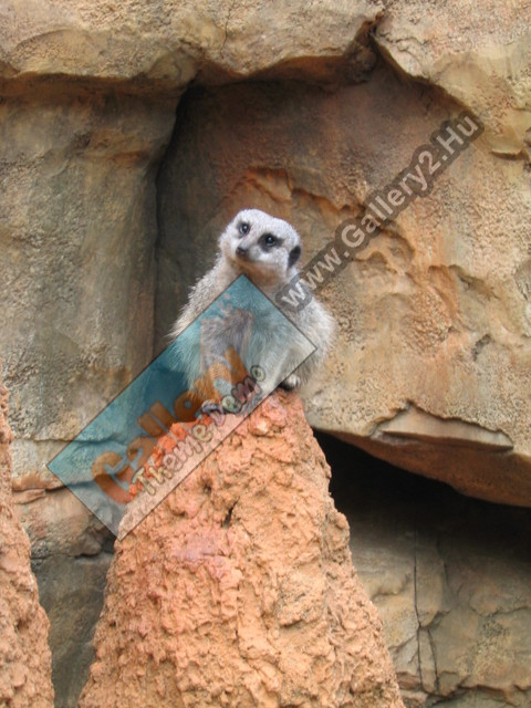 The not-very-intelligent-looking meerkat:)